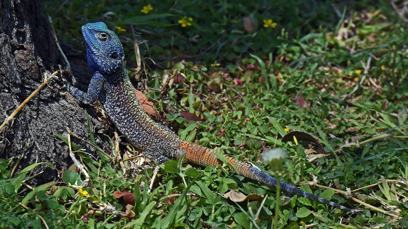 Blue-headed Tree Agamas scurrying around Pamuzinda